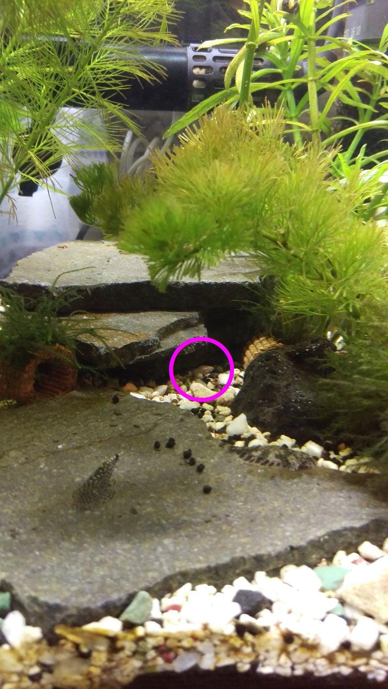 ドワーフグラミーの稚魚を水槽に戻しました