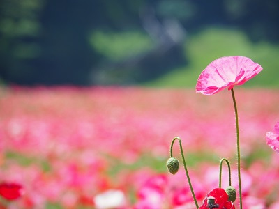 くりはま花の国③