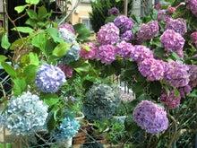 若木の紫陽花の変化