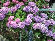 古木の紫陽花の変化