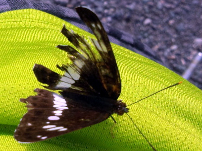 傷ついた蝶