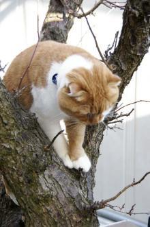 スコ猫くまきち日和+-木登り