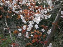 色々な桜1
