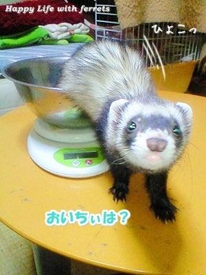 はっぴーらいふ with ferrets-体重チェック④