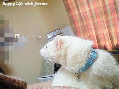 はっぴーらいふ with ferrets-喪中にて③