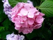 明月院-桃