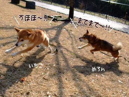 柴犬ひかりといちご のんびり日記-hirari!