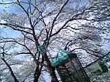matsumoto_sakura