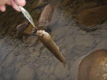 ちび岩魚2