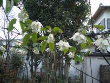 冬咲きのクレマチス 満開