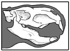 ジョセフォアルチガシアの頭骨