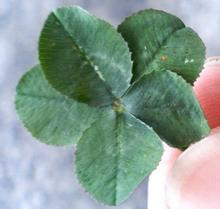 五つ葉のクローバー