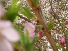 sakura thicket