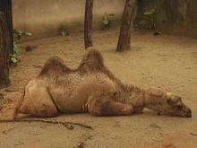 バリの海辺で、ラクダに乗ったことあるよ。