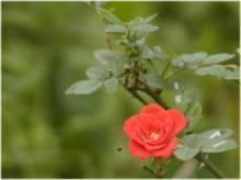 2421ミニ薔薇