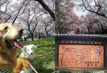 """""""高遠の桜""""いちど見に来たかったの(^_-)"""