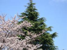 桜3月28日その2