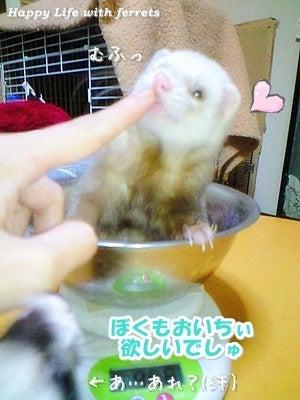 はっぴーらいふ with ferrets-体重チェック⑰