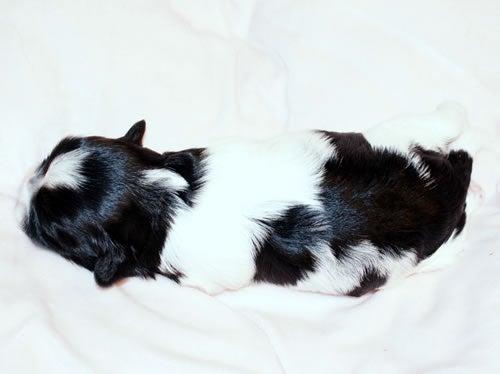 犬ブリーダー 子犬販売 (1ハニーわん)-シーズー ホワイト&ブラック