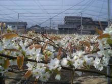梨の花 2