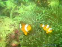 スノーキーのブログ-パヤ島ダイビングカクレクマノミ
