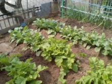 ちなみにこの野菜畑はうちのではありません(爆)