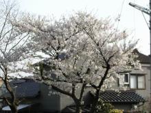 山ノ下 秋葉公園の桜