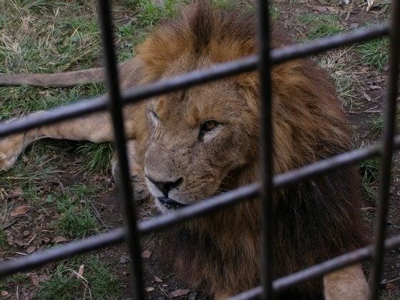 ライオンさん4