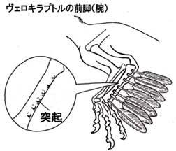 ヴェロキラプトルの前肢