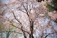 sakura by ikeda