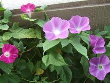 朝顔の花です