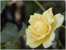 2428薔薇