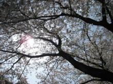 手賀沼の桜