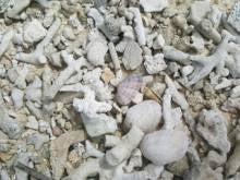 珊瑚の死骸