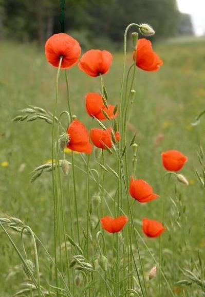 雑草 花 オレンジ の ナガミヒナゲシの正体から駆除まで…オレンジ色の危険な植物について