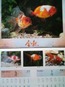 金魚カレンダー