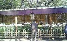靖国神社の菊 2007.11.3
