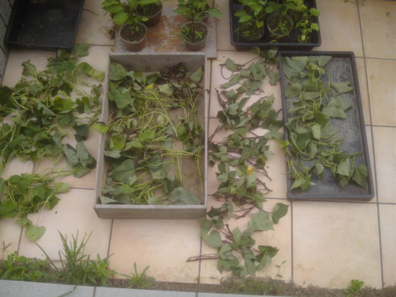 サツマイモ定植 | 脱サラ農的暮らし【のんびりファーム】