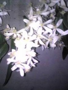 白い花いい香.jpg