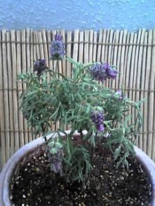 french-lavender.2