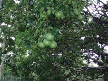 グレープフルーツの実1