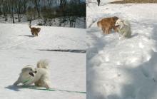 リリーも雪が好きだわァ.. 犬は雪っ子だねぇ!