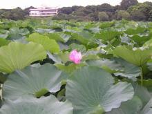 shinobazu-ike