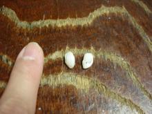 イシモチの石