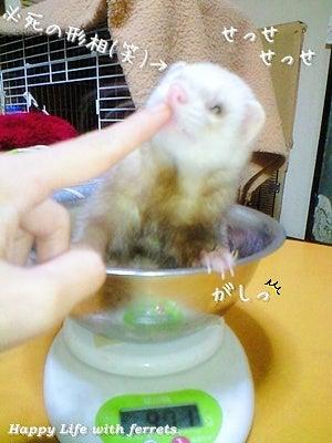 はっぴーらいふ with ferrets-体重チェック⑯