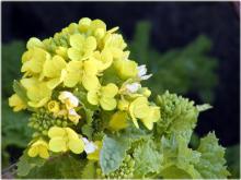 3077菜の花