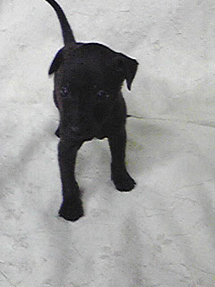 犬ブリーダー 子犬販売 (1ハニーわん)-イタグレ&ミニピン