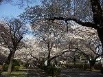 ICUの桜