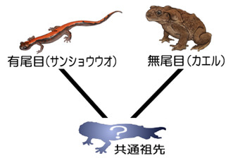 カエルとイモリの共通祖先
