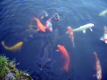 宝ヶ池の鯉